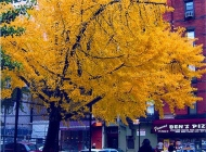 A tree in an autumn day in Lower East Side | Yellow tree | New York Murales